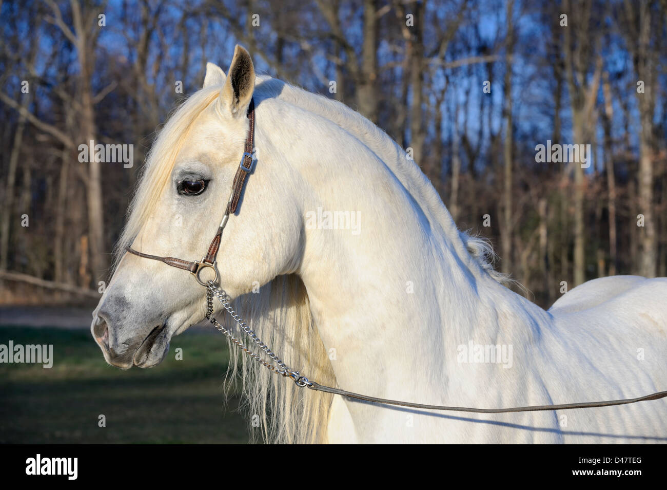 White horse head shot with long full mane hair in side view, Arabian stallion taken in the last evening light of - Stock Image
