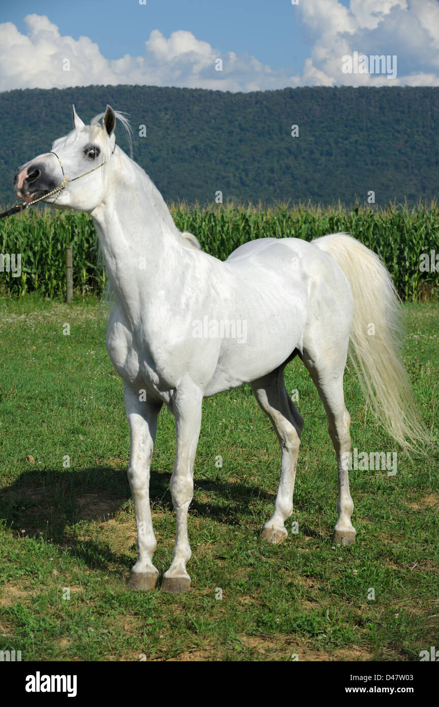 White Horse Standing In Farm Field Against Summer Mountain Background Stock Photo Alamy