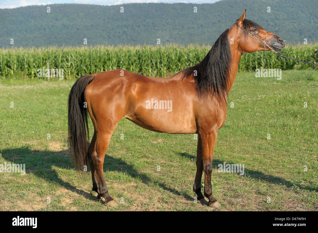 Bay horse standing in full body, side view, profile of a brown purebred Arabian mare, in a green, grassy field outdoors, - Stock Image