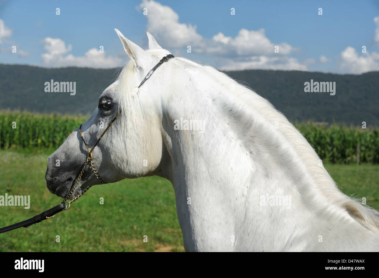 White horse head shot side view showing strong muscular neck arch, Arabian stallion against mountain and field country - Stock Image