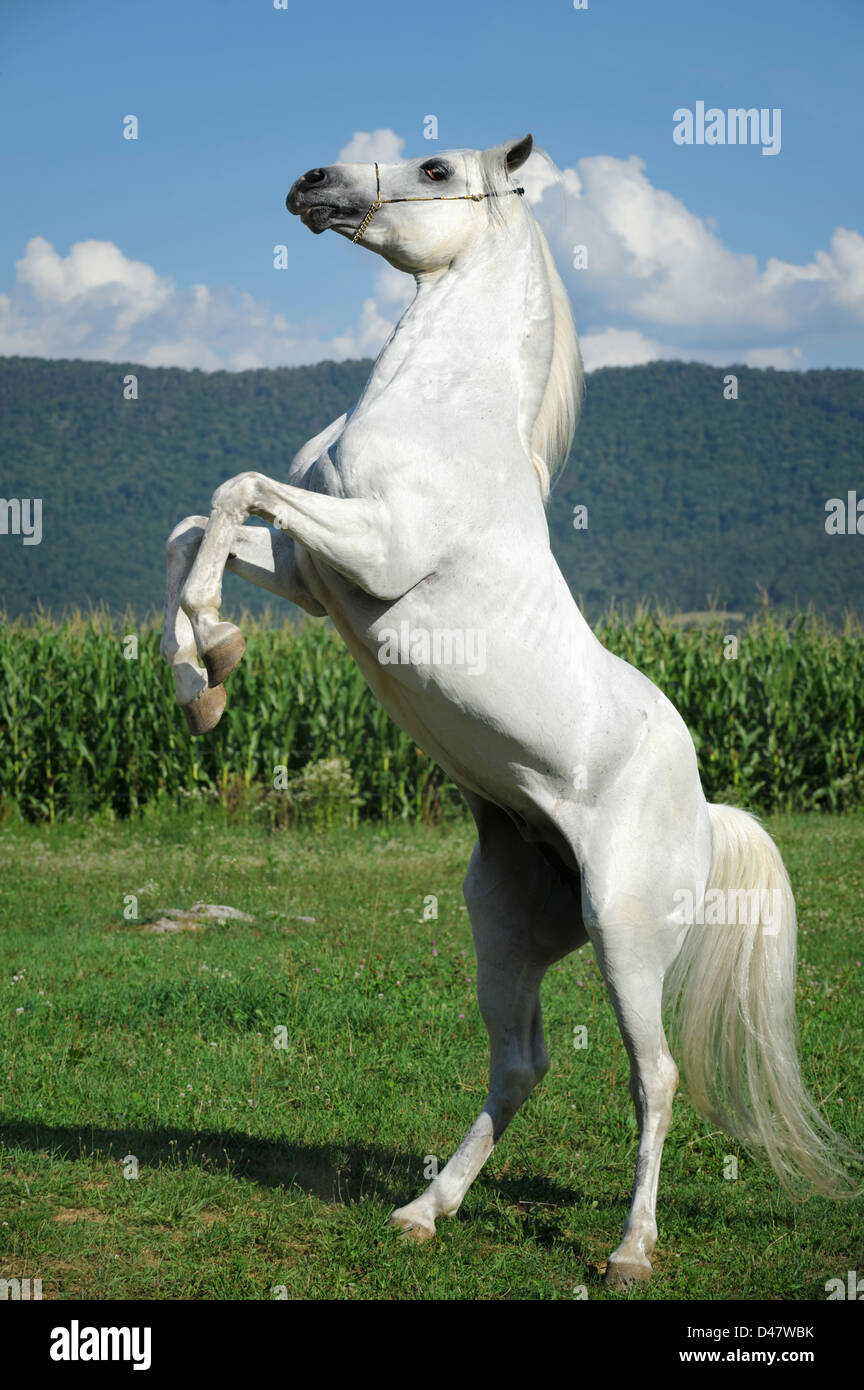 White Horse Rearing Up Against Summer Mountain And Field Background Stock Photo Alamy
