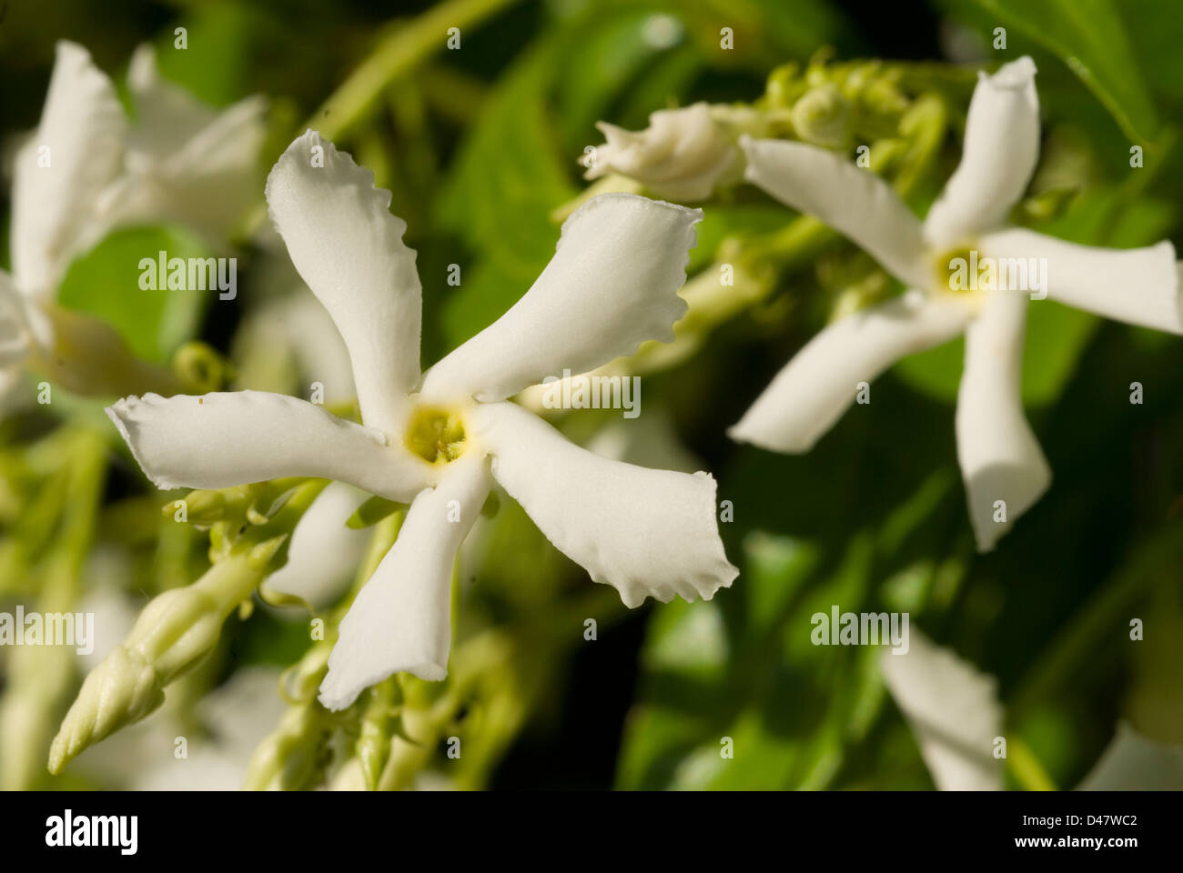 Jasmine Jasminum sp., gelsomino, Oleaceae - Stock Image