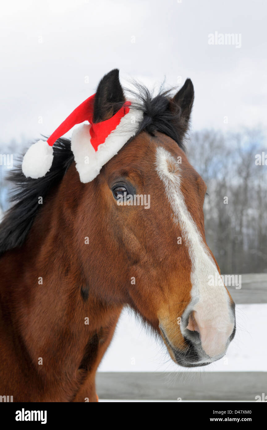 Horse wearing Santa hat for Christmas holiday picture, close up head shot outdoors in snow. - Stock Image