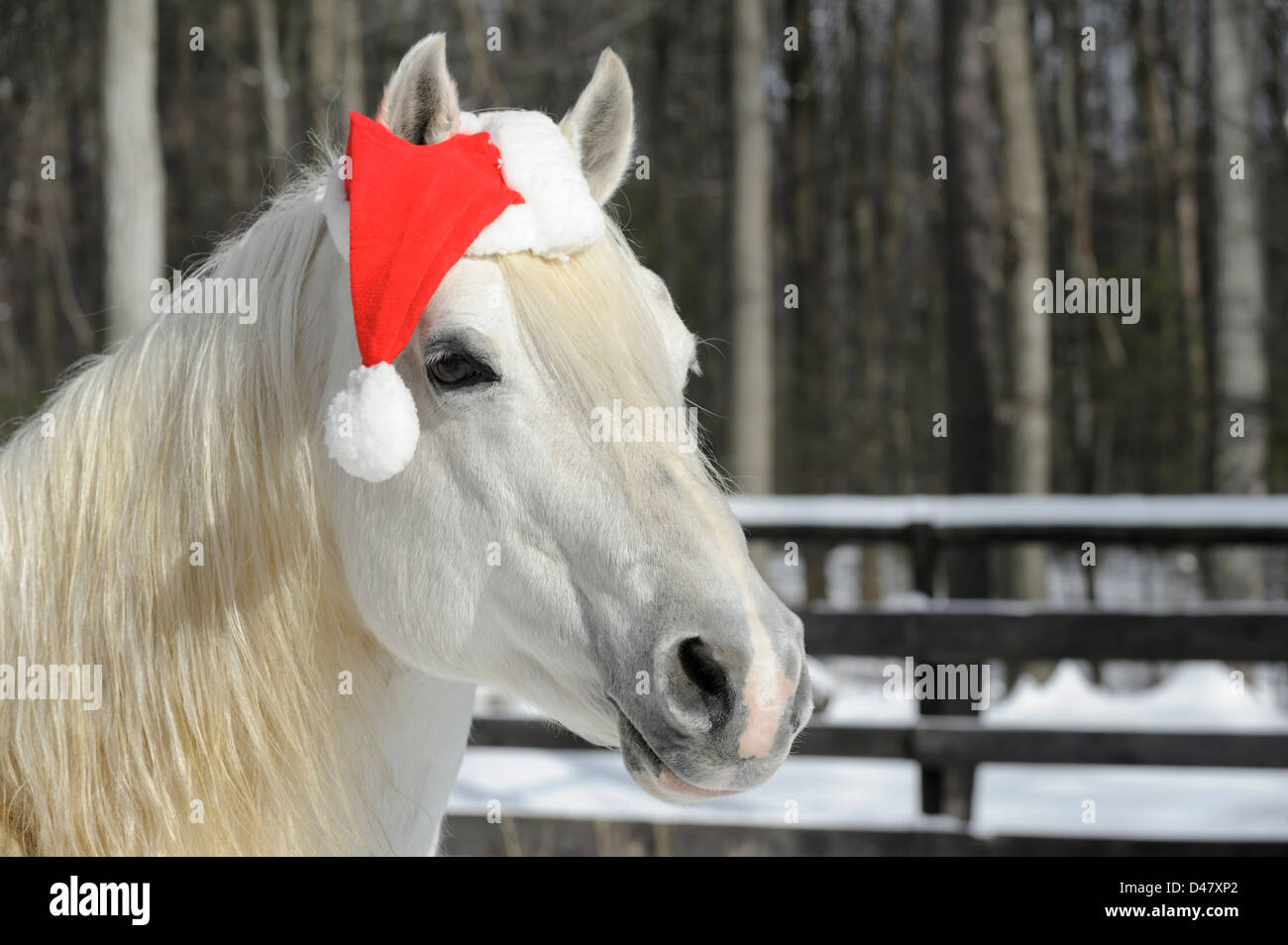 White Horse Wearing Santa Christmas Hat Head Shot With Copy Space Stock Photo Alamy