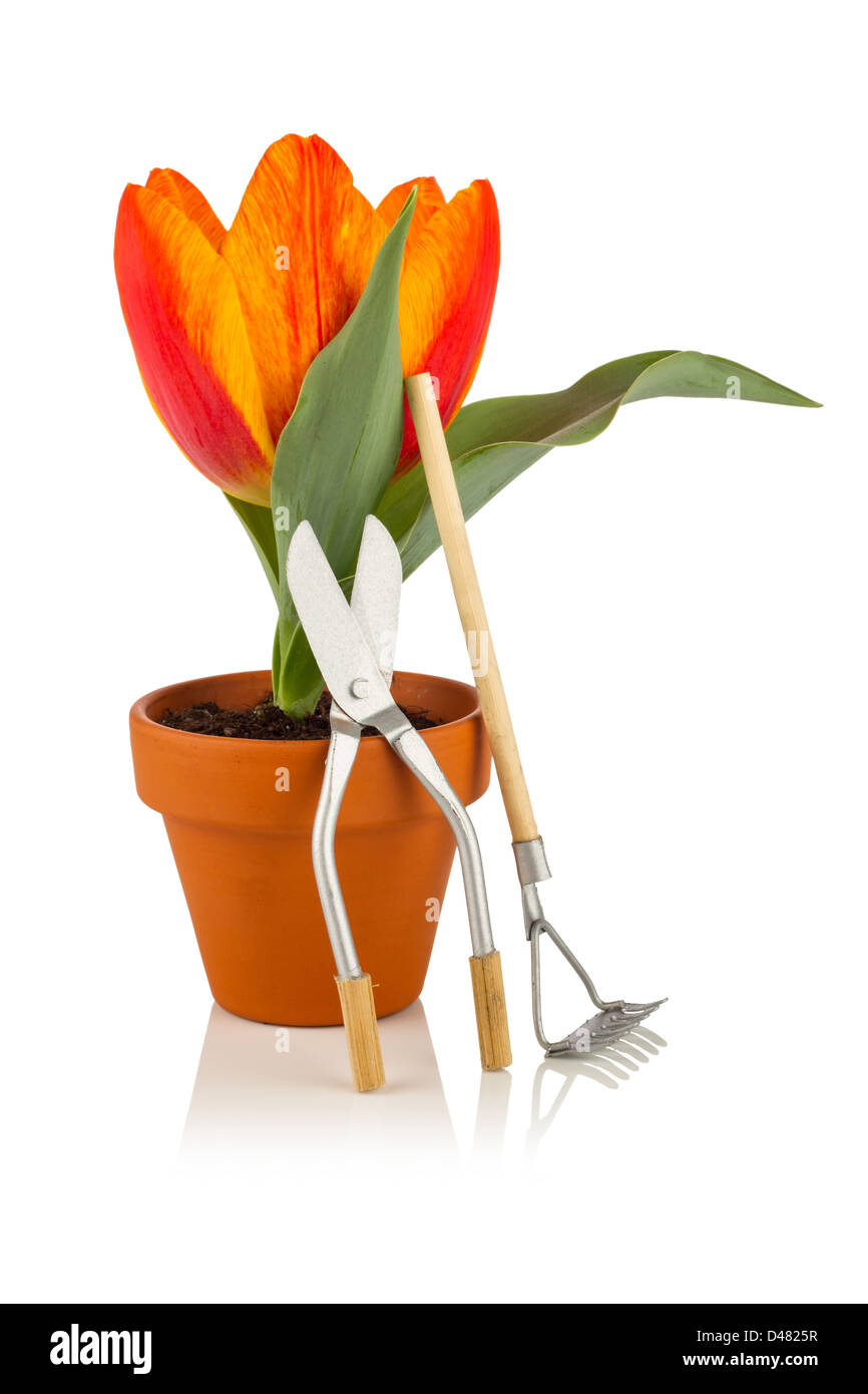 tulip with garden tools - Stock Image