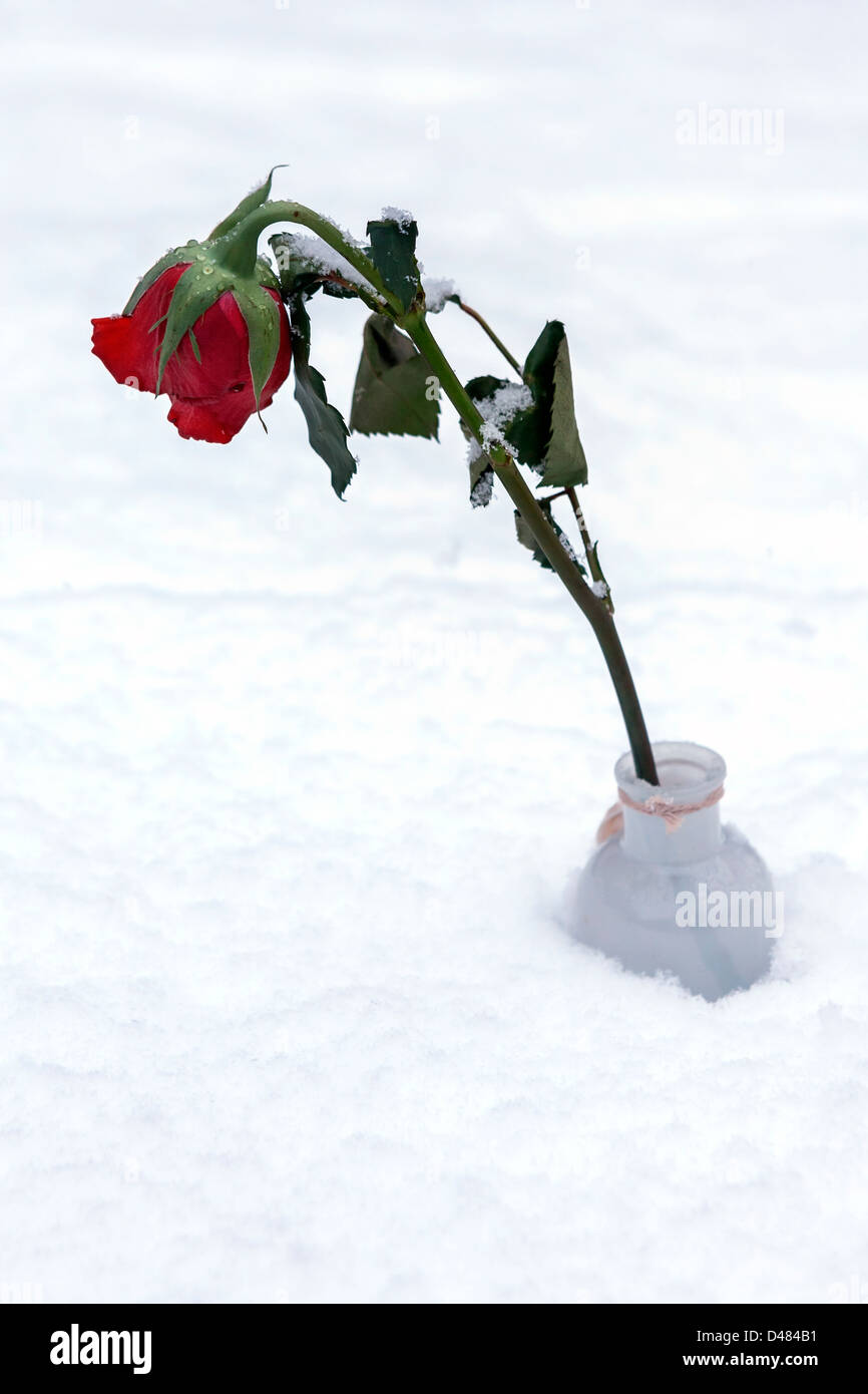 a red rose in snow - Stock Image