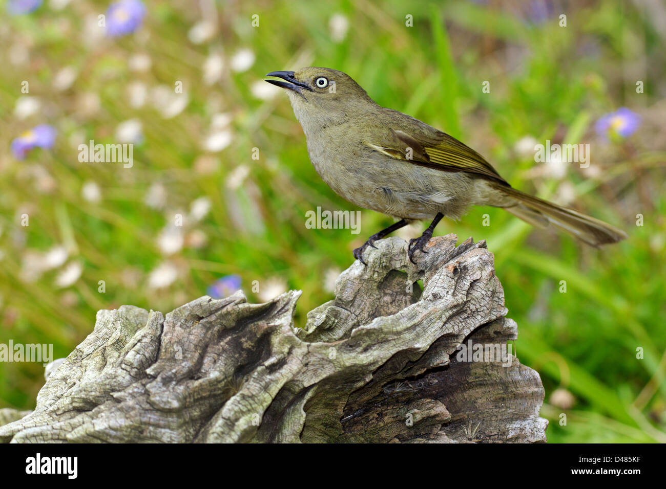 The Sombre Greenbul (Andropadus importunus) is a member of the bulbul family of passerine birds in Africa. - Stock Image