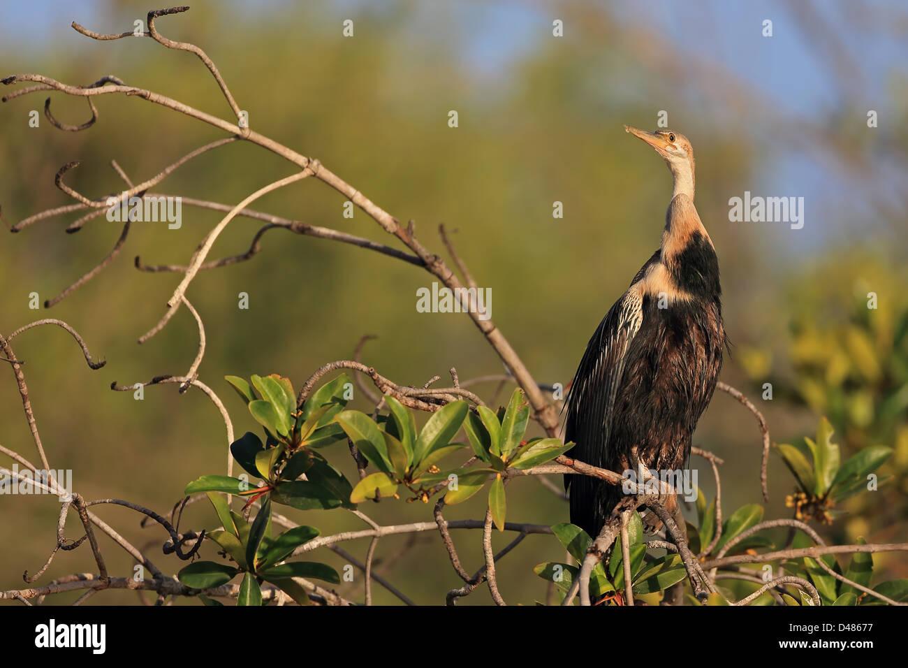 Darter (Anhinga melanogaster) - Stock Image