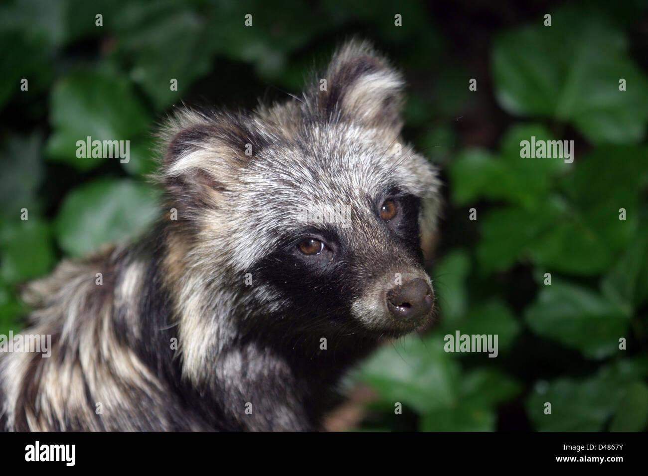 raccoon dog (Nyctereutes procyonoides) close up. - Stock Image