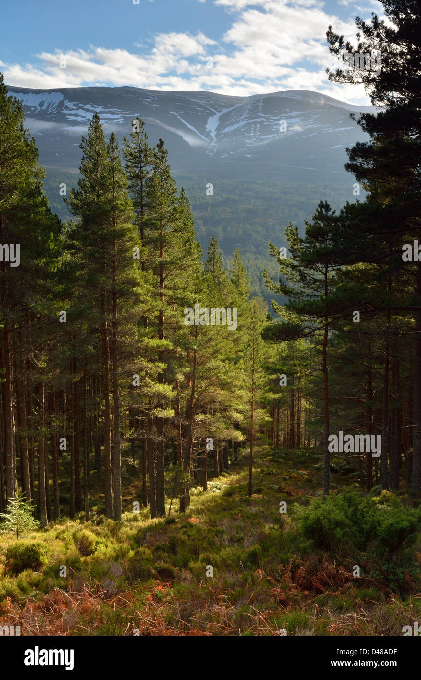 Glenmore Forest near to Aviemore in the Caringorms National Park, Scotland, UK Stock Photo