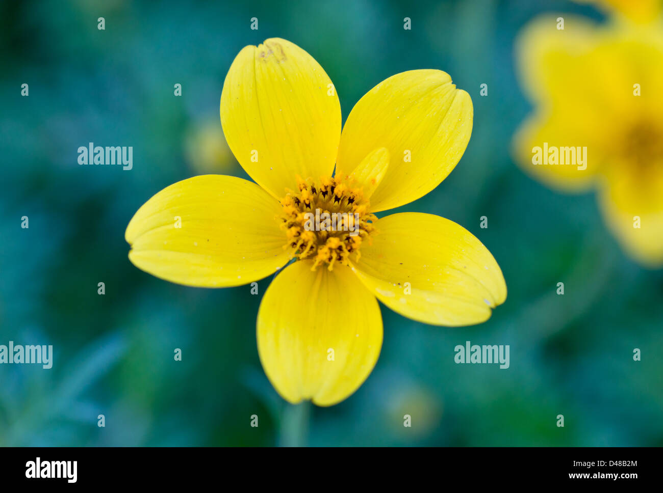 Flower With 5 Petals Stock Photos Flower With 5 Petals Stock