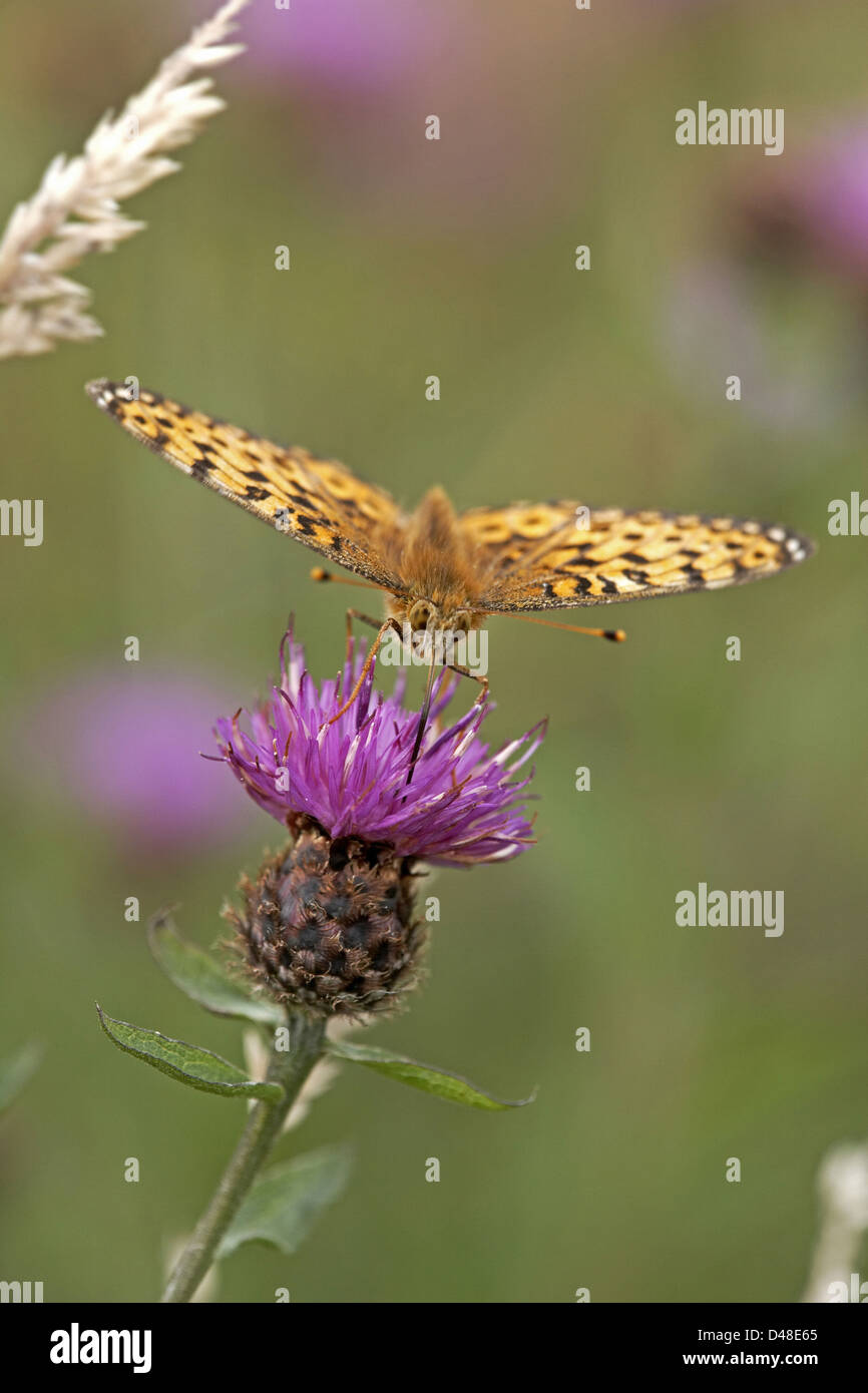 Dark Green Fritillary, Argynnis aglaja, butterfly, Fen Bog, North Yorkshire, UK - Stock Image