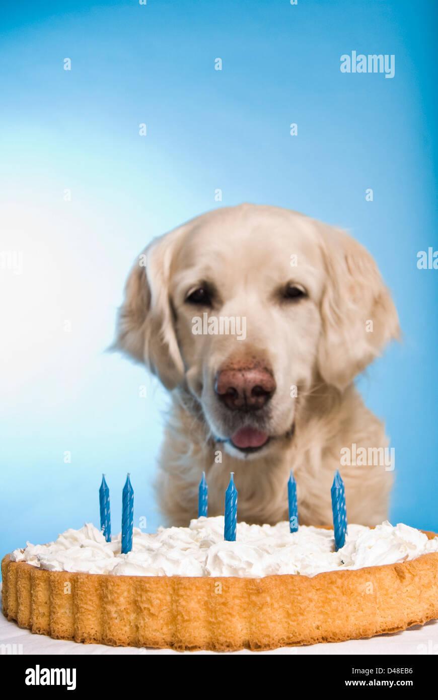 Brilliant Golden Retriever Dog With A Birthday Cake Stock Photo 54276634 Funny Birthday Cards Online Alyptdamsfinfo