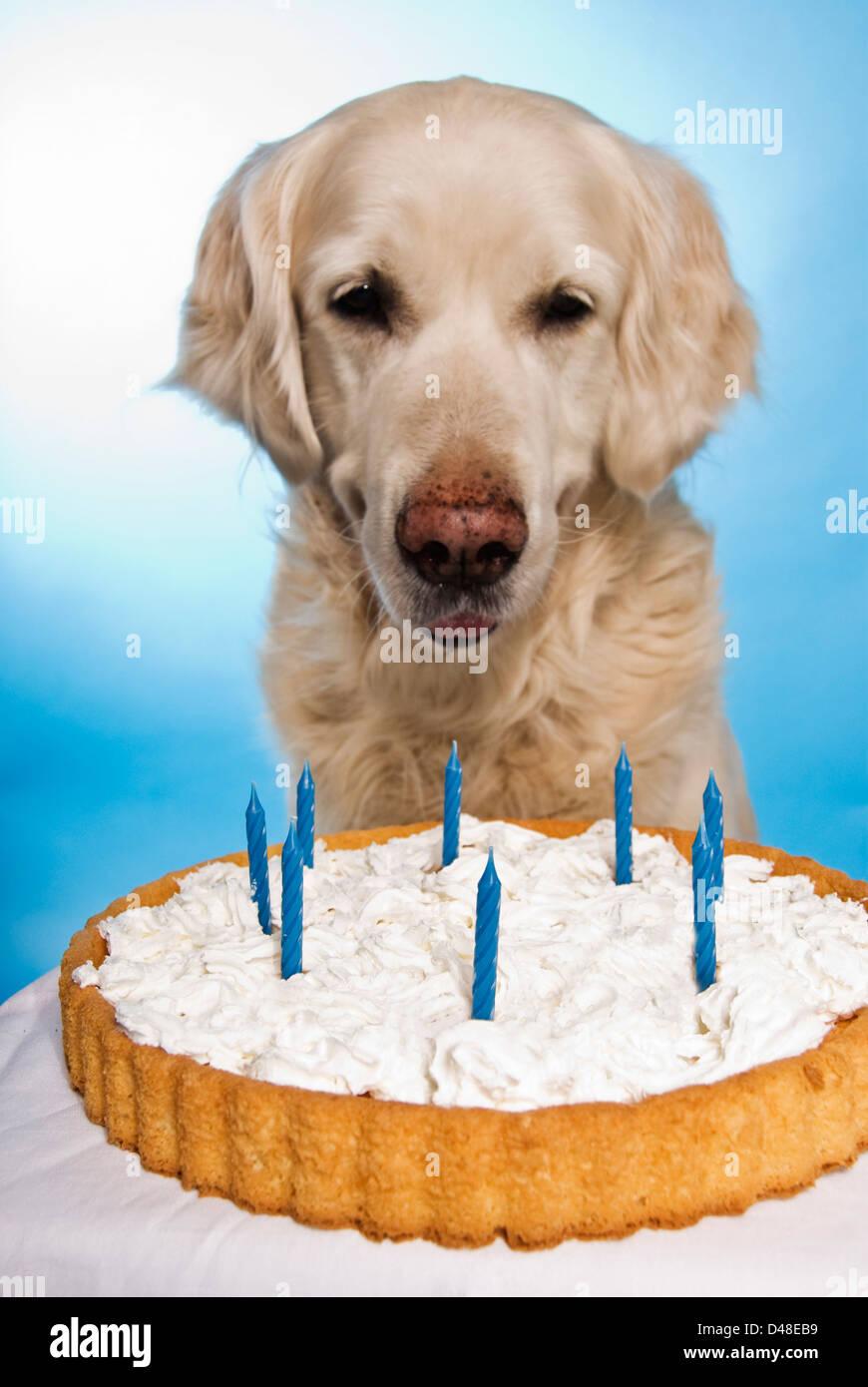 Phenomenal Golden Retriever Dog With A Birthday Cake Stock Photo 54276637 Funny Birthday Cards Online Alyptdamsfinfo