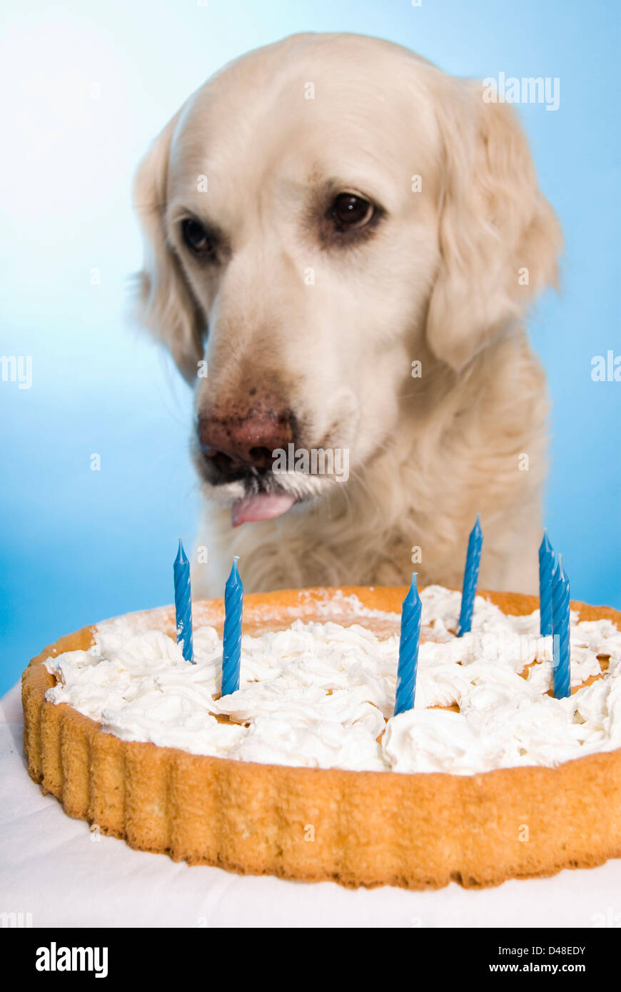 Golden Retriever Dog Eating A Birthday Cake Stock Photo 54276711