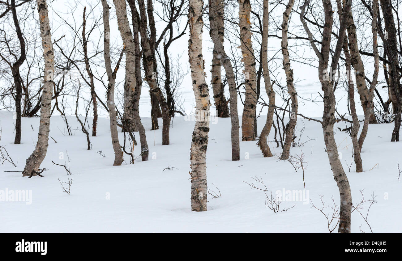 Semi-abstract photo of birch trees in the snow - Stock Image