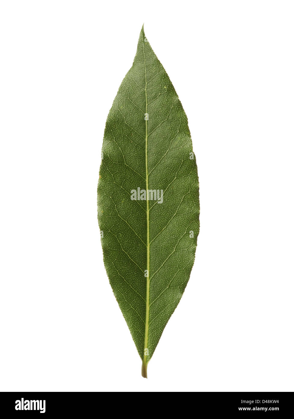 Single bay leaf isolated on white background - Stock Image
