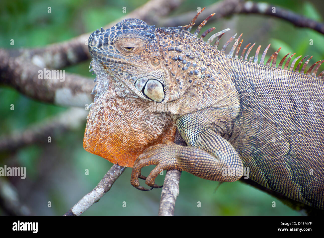 Iguana, a genus of herbivorous lizards, derived from the Spanish form of the original Taino name for the species, - Stock Image