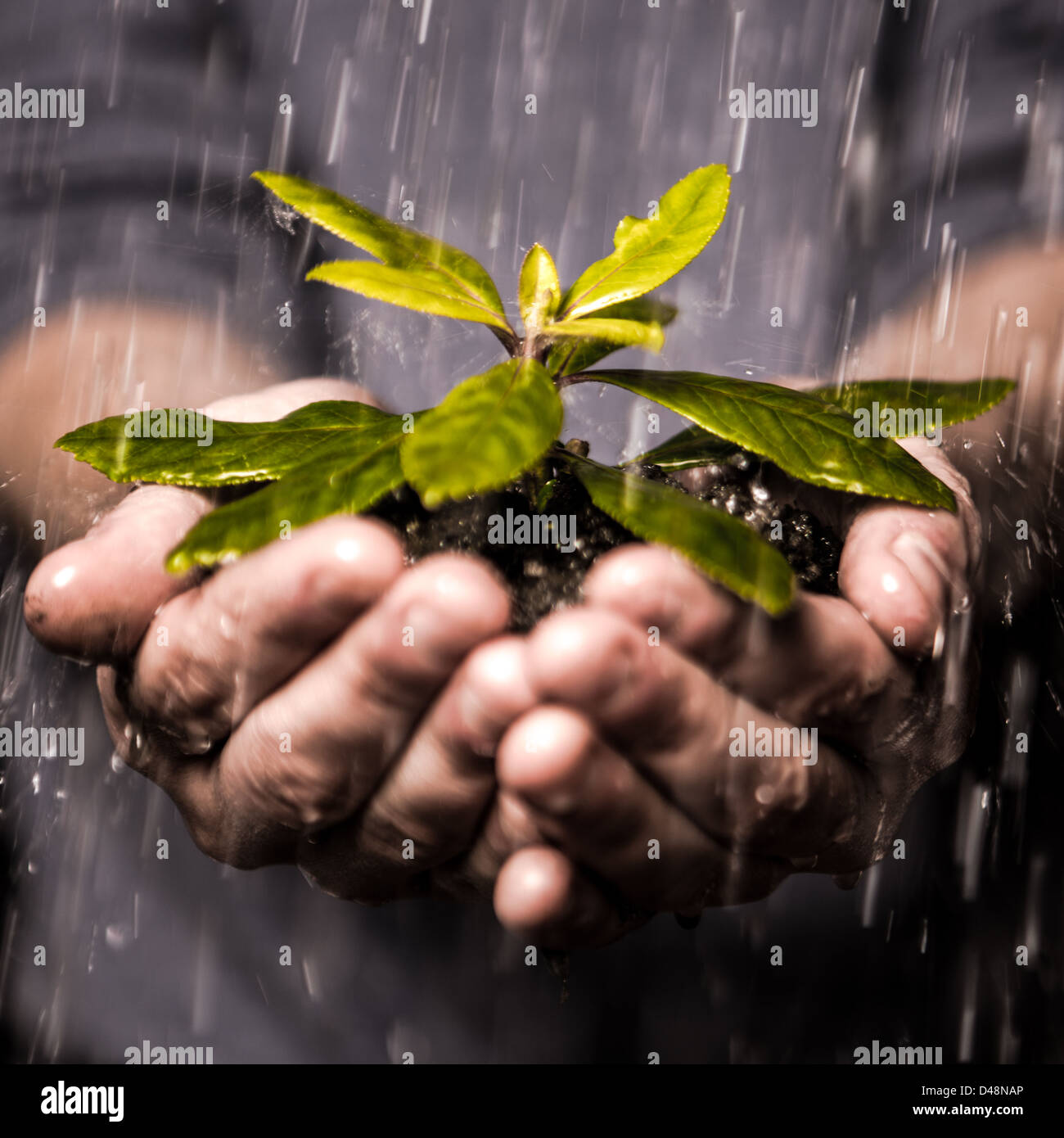 Close up of hands holding seedling in the rain - Stock Image