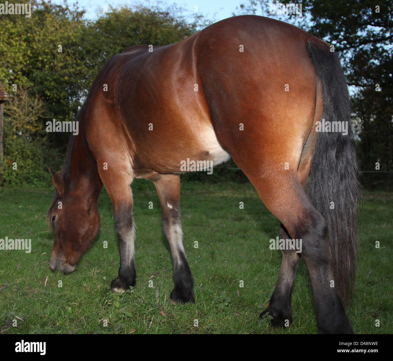 Bay Welsh Cob grazing in a field at dusk - Stock Image