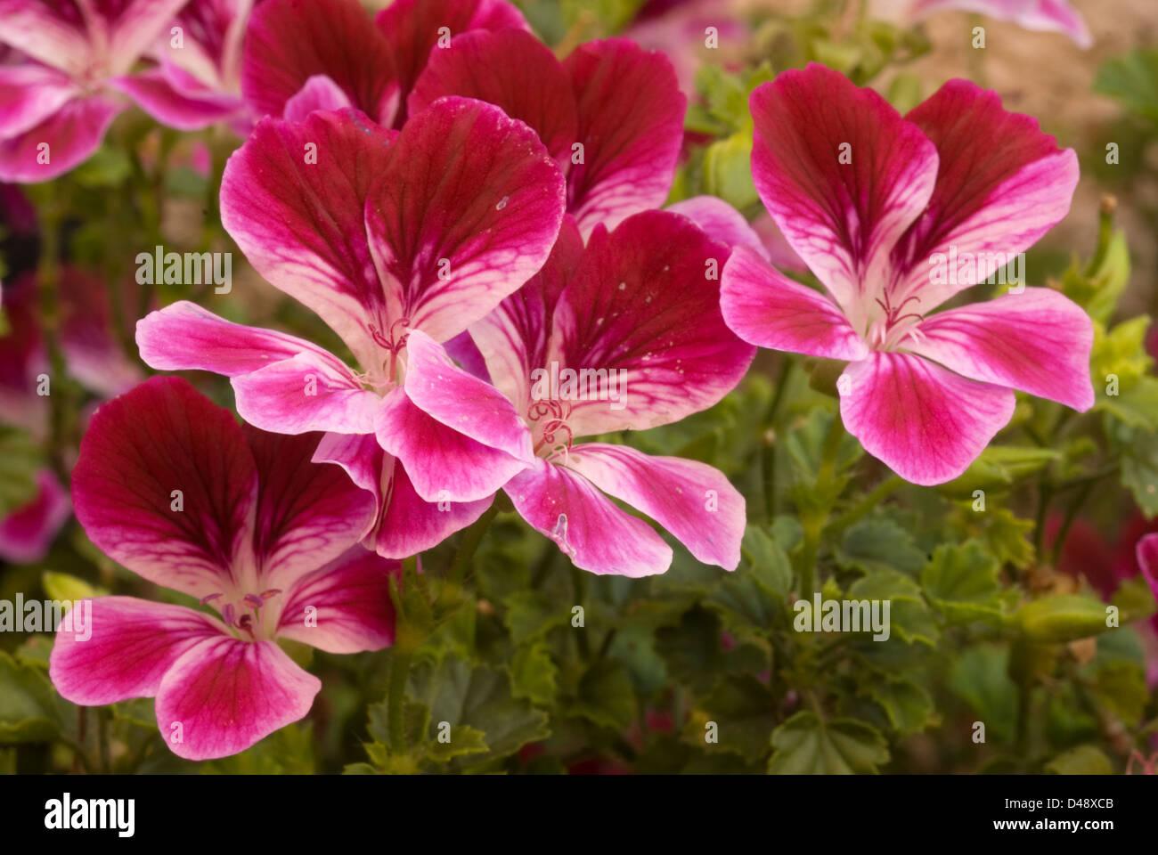 Pelargonium  'Seely's Pansy', geranio, Geraniaceae - Stock Image