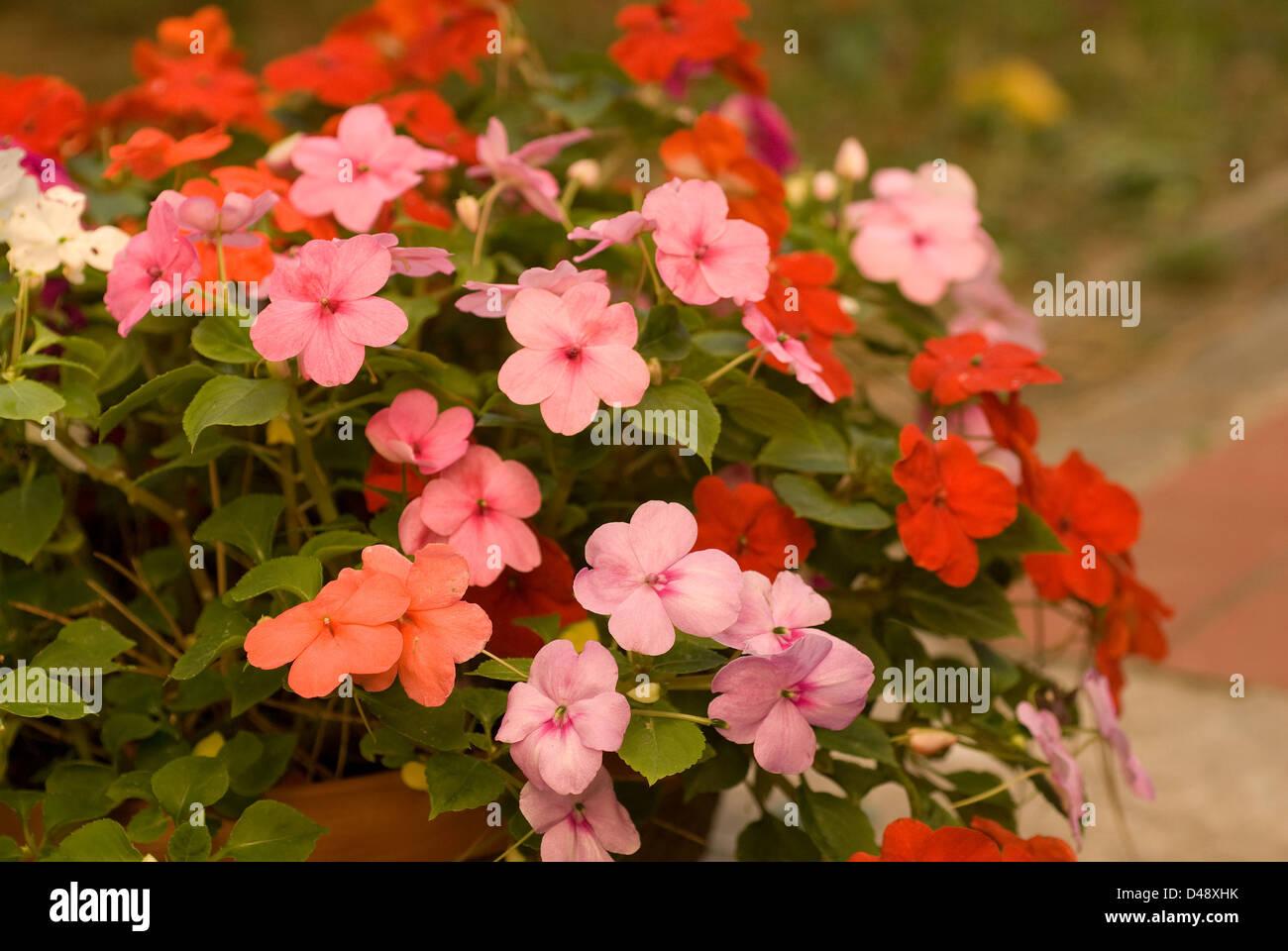 Garden Impatiens, Patient Lucy Impatiens walleriana, Balsaminaceae - Stock Image