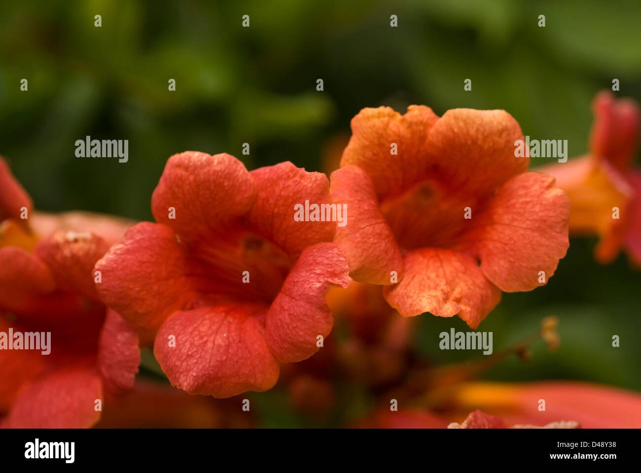 Trumpet Creeper Campsis radicans, bignonia, Bignoniaceae - Stock Image