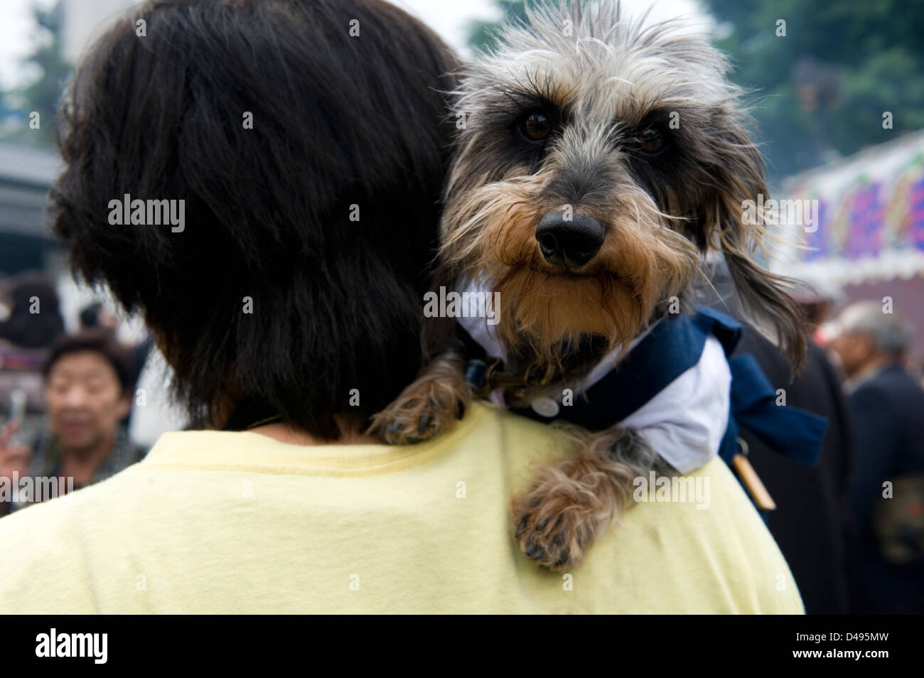 A dog, being carried on the shoulder of a pet owner in Japan, seems curious about having his picture taken. - Stock Image