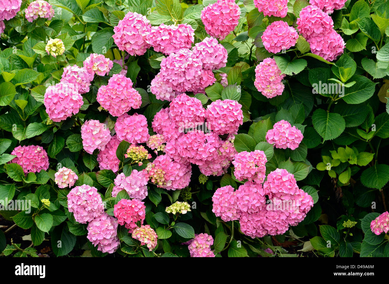 Closeup of red Hydrangea macrophylla flowers (or hortensia) - Stock Image