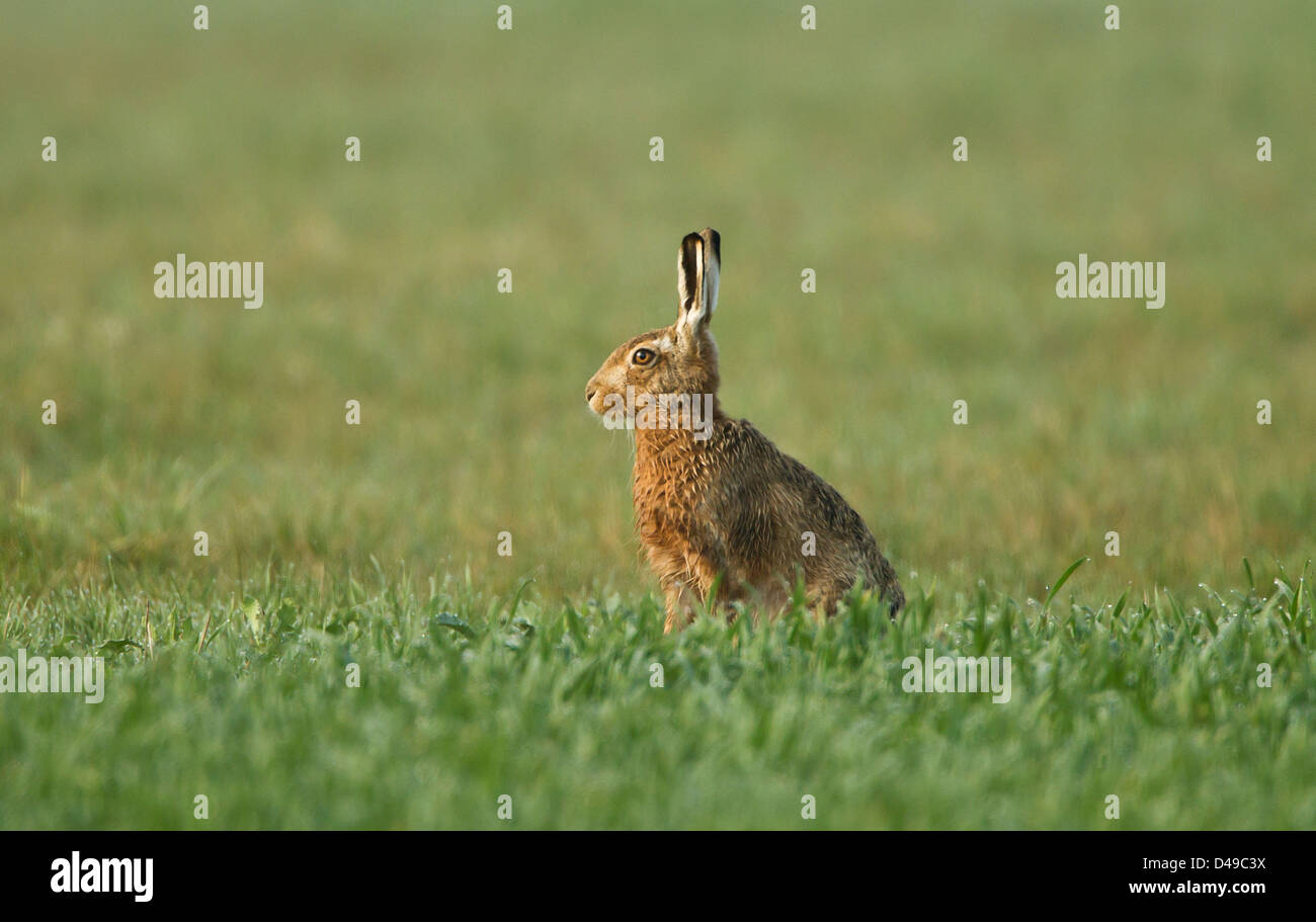 Brown Hare stood upright in field in the Oxfordshire countryside - Stock Image