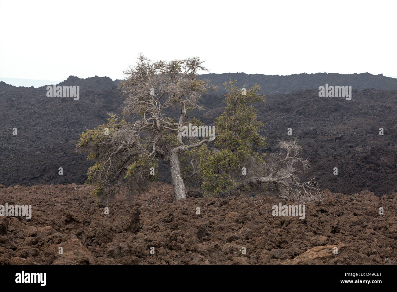 A large tree alone in lava landscape at The Big Island, Hawaii, USA - Stock Image