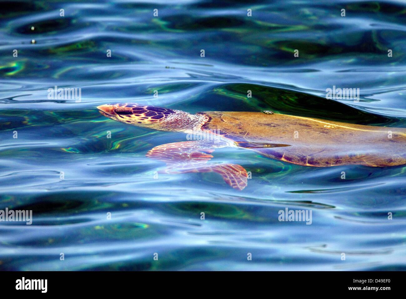 Loggerhead turtle. (Caretta caretta). SWIMMING JUST UNDER THE SURFACE, Crete. BLUE WATER Stock Photo