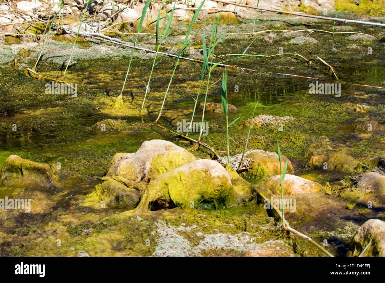 Rhizomes. Phragmites,  Common reed showing its rhizomes, method of colonisation. - Stock Image