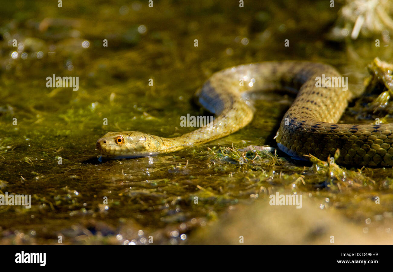 Dice snake  (Natrix tessellata) hunting fish. - Stock Image