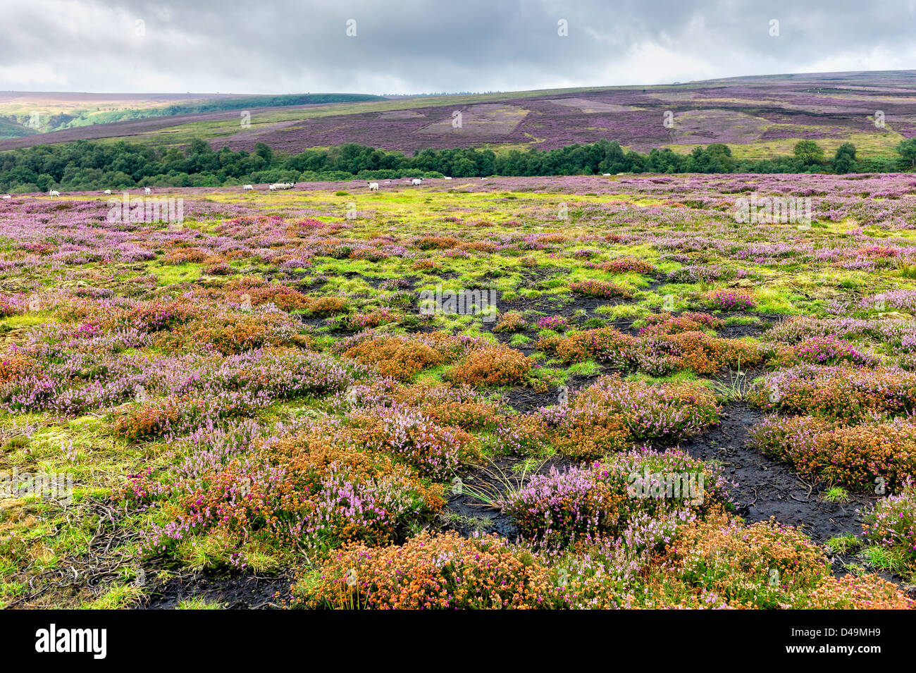 Heather in bloom over the beautiful undulating landscape of the North York Moors, Yorkshire, UK. - Stock Image