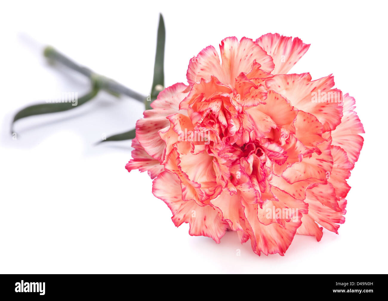 Pink carnation flower closeup on white - Stock Image