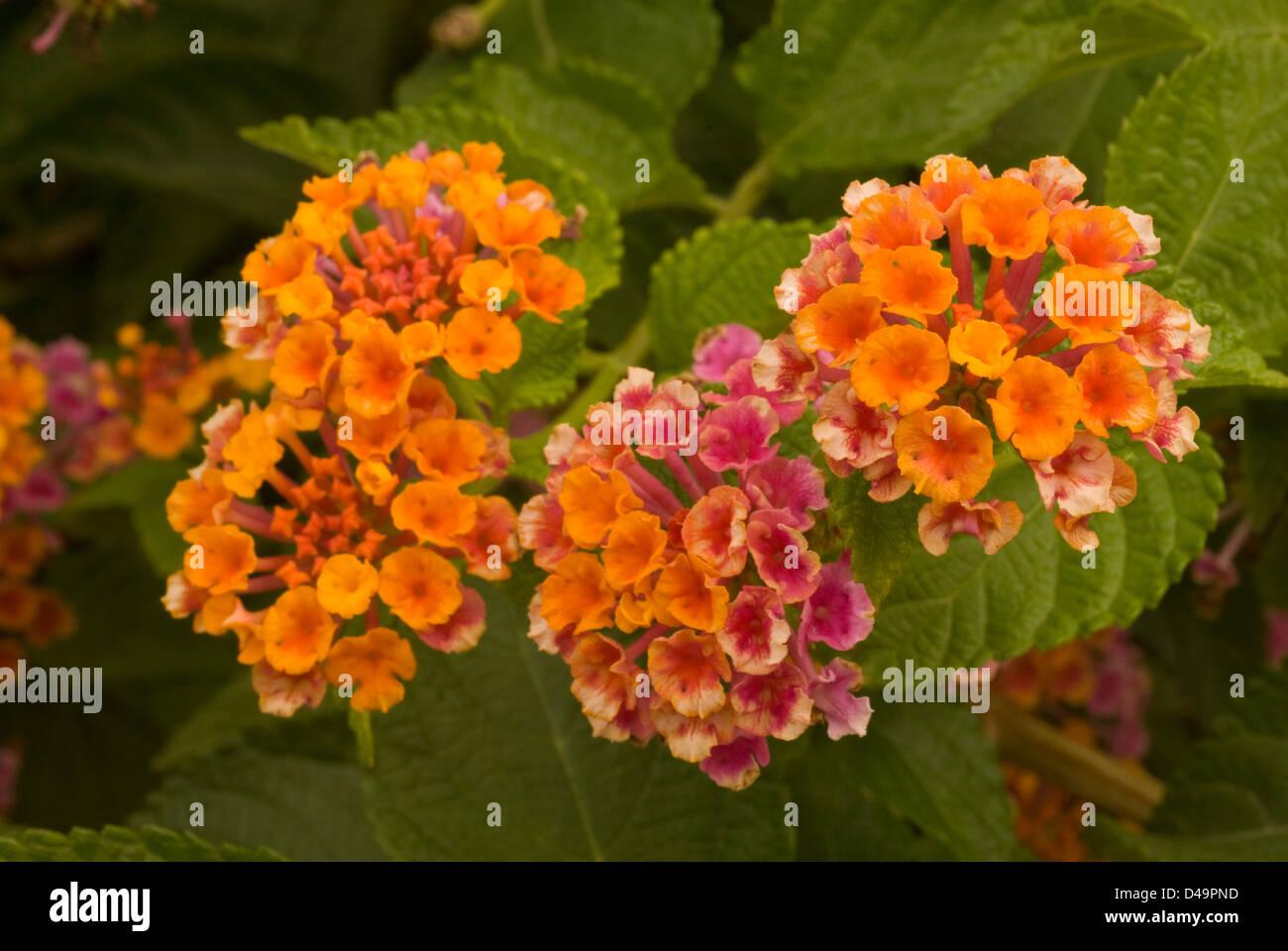 Flowers of Lantana camara, Verbenaceae Stock Photo