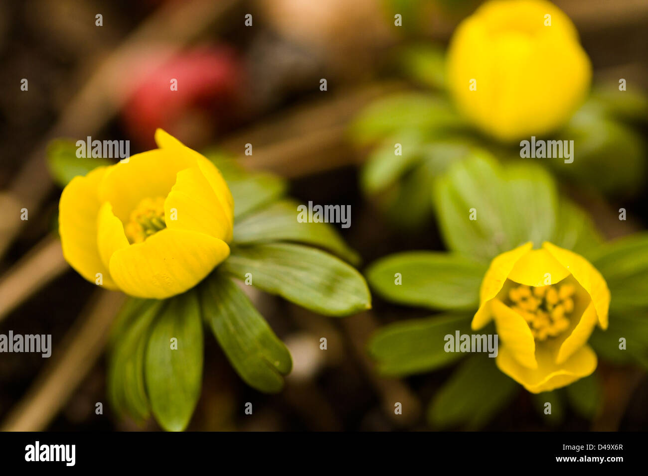 One Of The Earliest Spring Flowers To Emerge Out Of The Ground Is