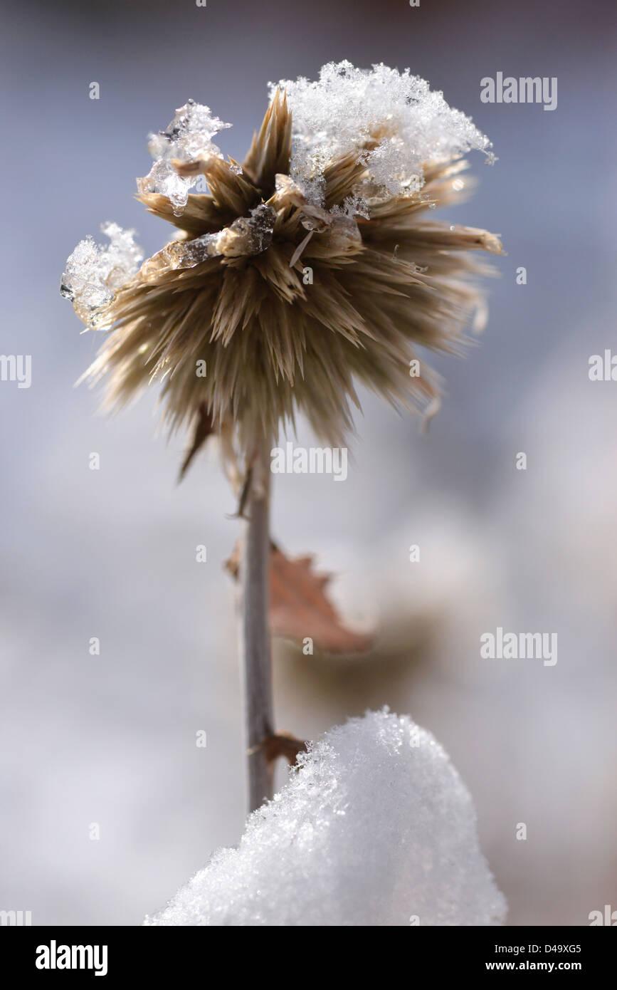 Snow on globe thistle plant, Wallowa Valley, Oregon. - Stock Image