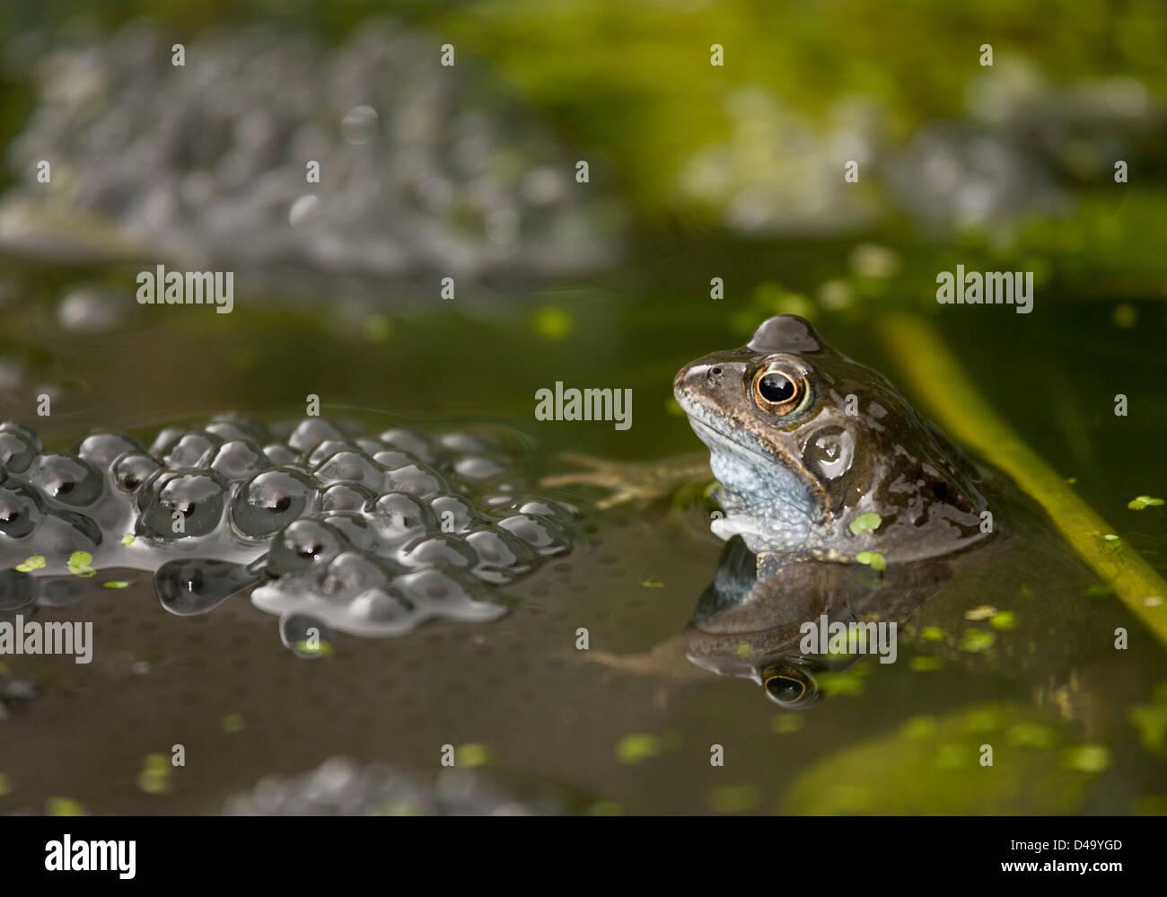 European common brown frog (Rana temporaria) at breeding pond in the mating season; garden pond, Dorset, England - Stock Image