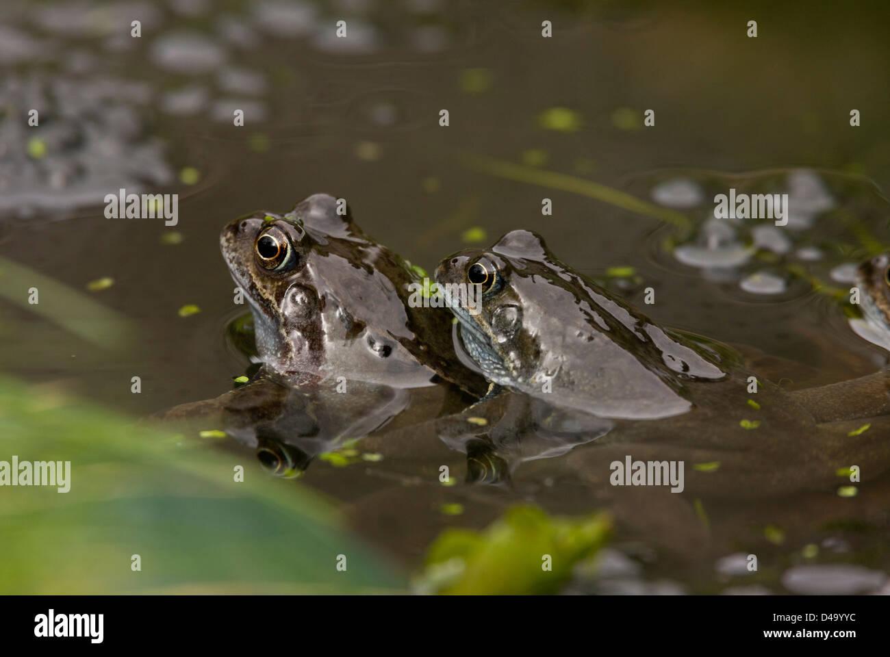 European common brown frog (Rana temporaria) at breeding pond in the mating season, close-up; garden pond, Dorset, - Stock Image