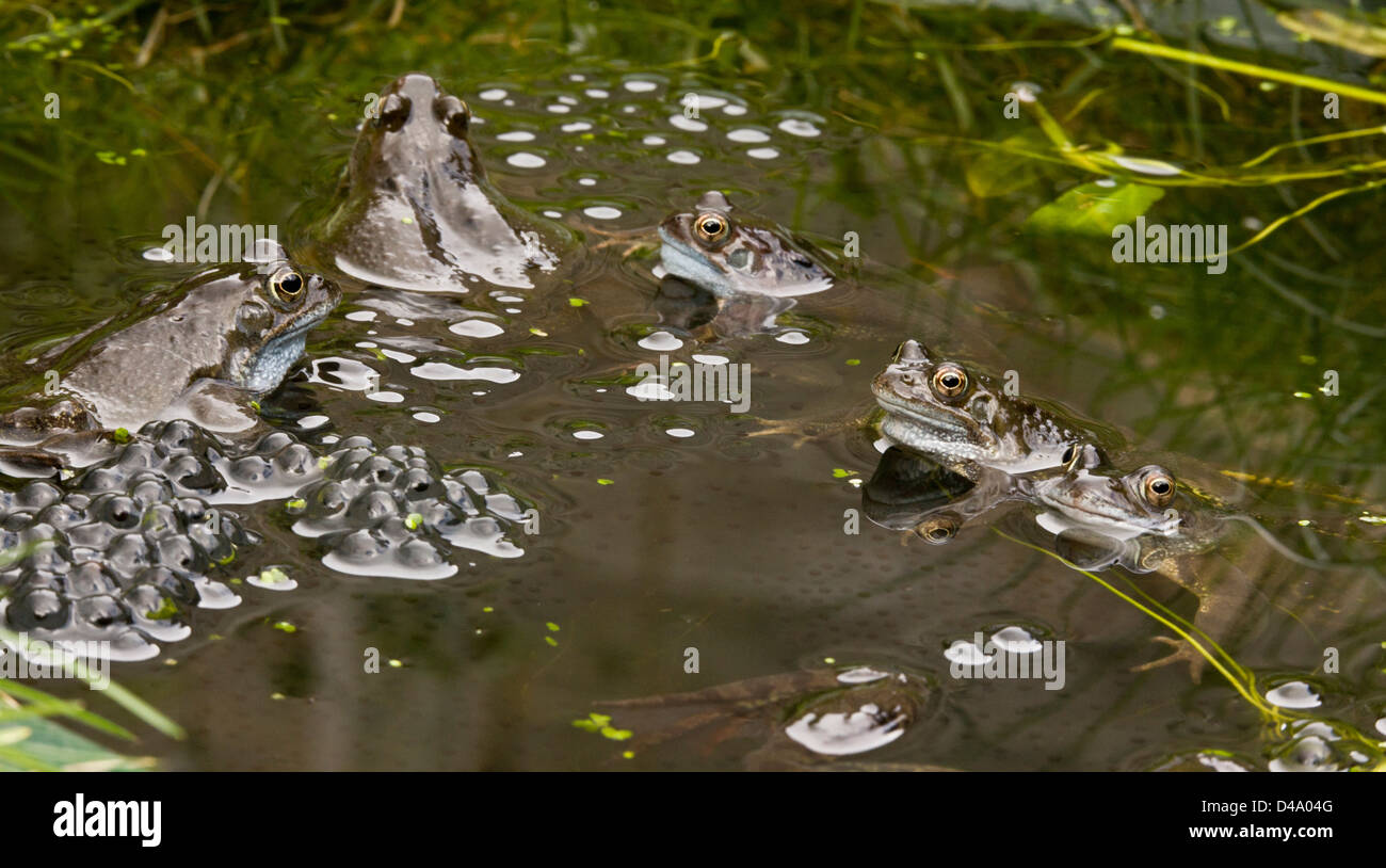 Common frogs, European common brown frog, Rana temporaria, at breeding pond in the mating season; garden pond, Dorset. - Stock Image