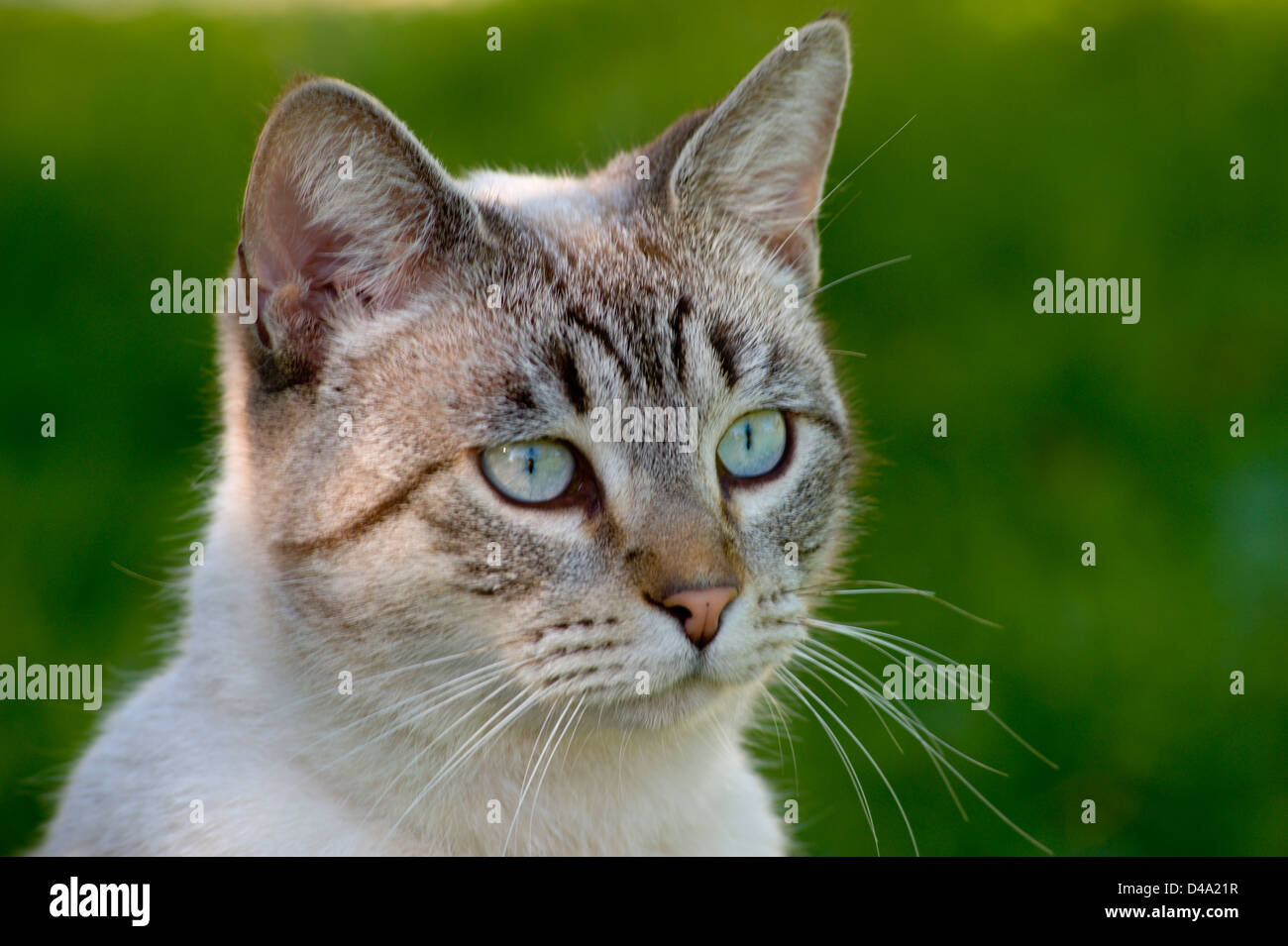 Tabby Cat With Blue Eyes High Resolution Stock Photography And Images Alamy