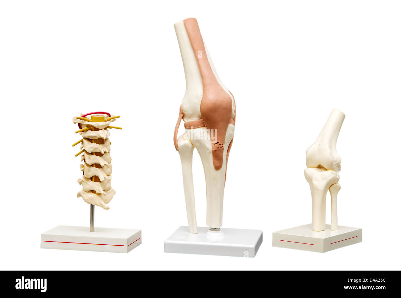 Anatomical models of the joints. Isolate on white background Stock ...