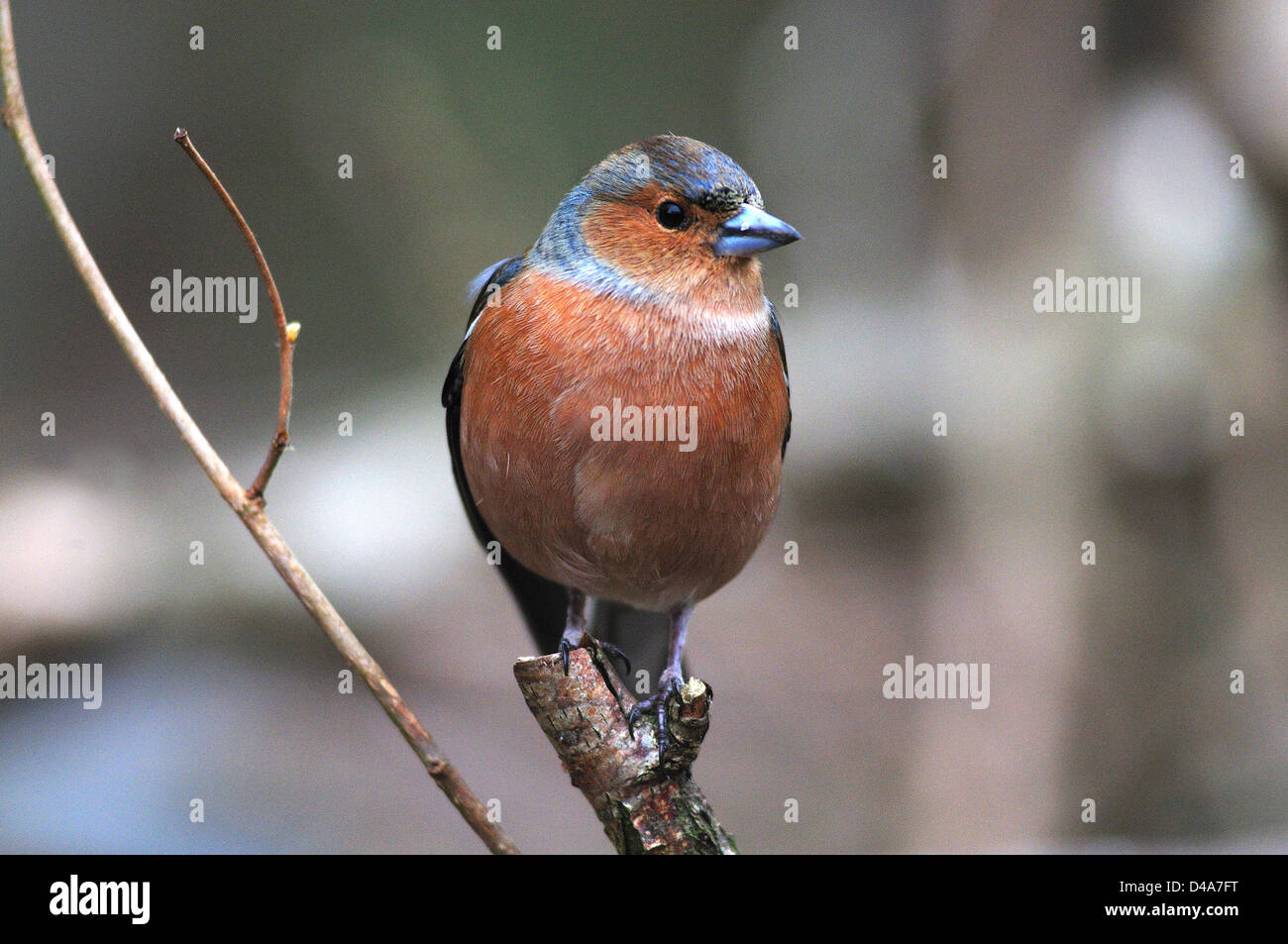 A male chaffinch - Stock Image