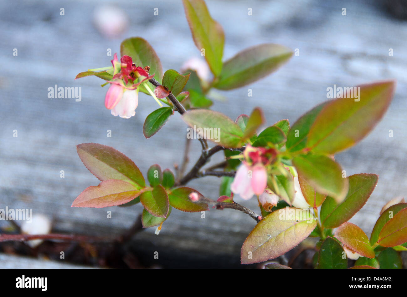 blueberry plant flowering between planks of boardwalk - Stock Image