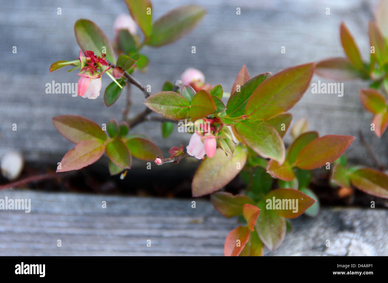 flowering blueberry plant growing between planks of boardwalk - Stock Image