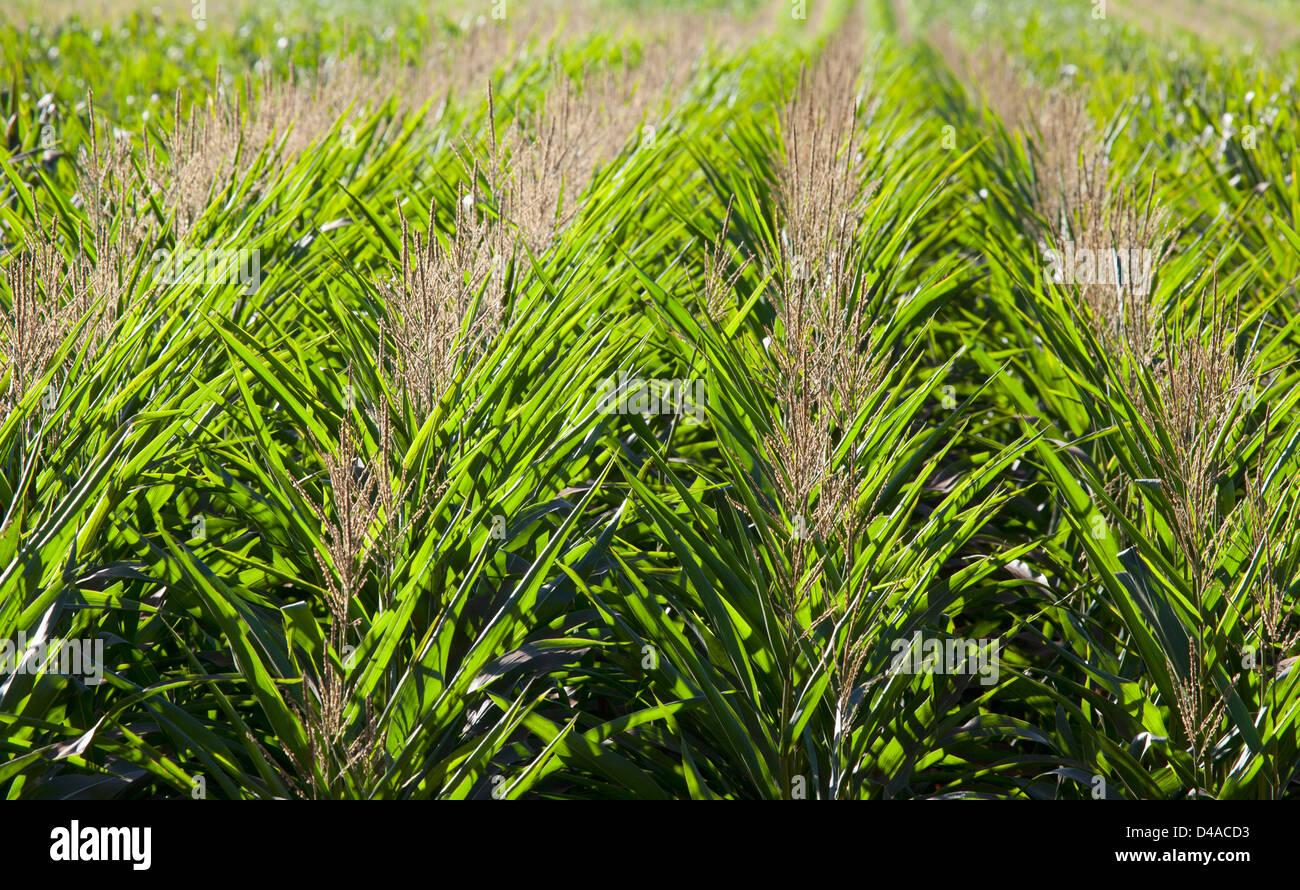 Genetically modified corn in Hawaii. - Stock Image