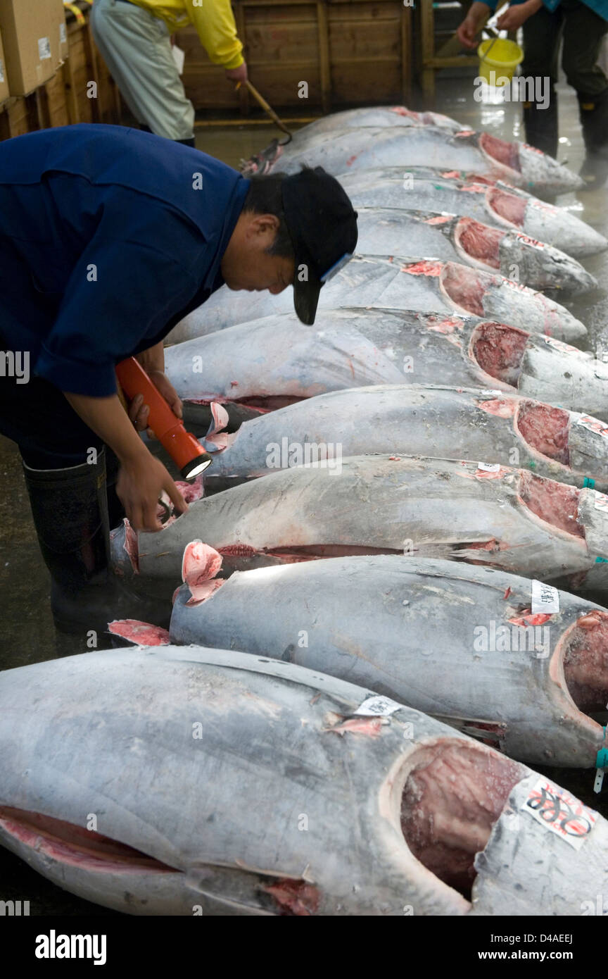 Potential fish buyer inspects tuna tail meat for quality at Tsukiji Wholesale Fish Market in Tokyo. - Stock Image