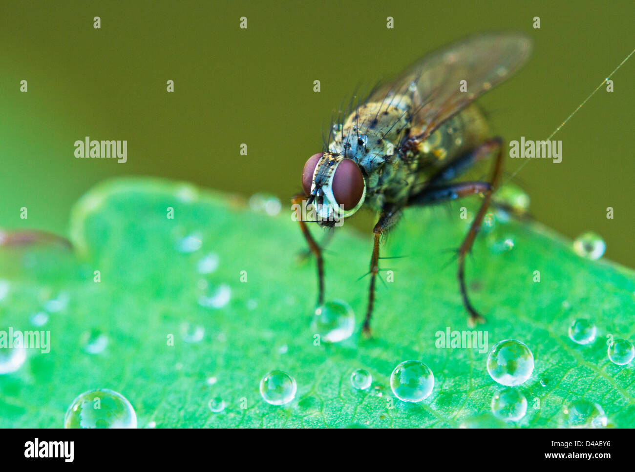Tachinid fly perched on a leaf with dew in morning light Stock Photo
